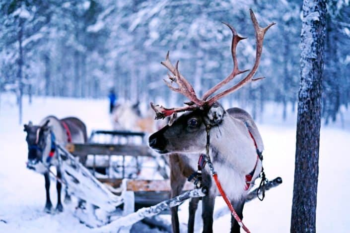 What do reindeer hang on their Christmas trees