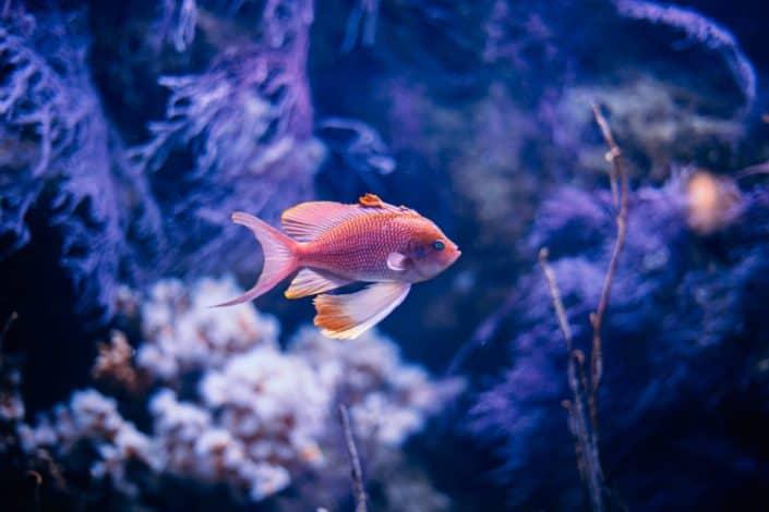 A goldfish swimming through