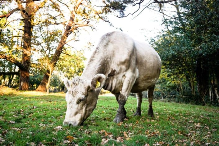 An animal eating grass