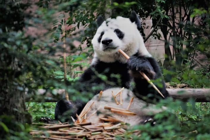 A panda holding sticks
