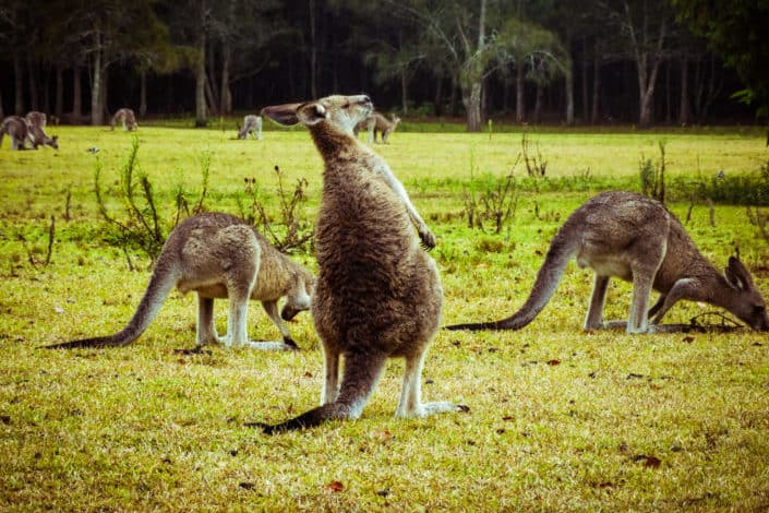 Why did the kangaroo stop drinking his cup of coffee?