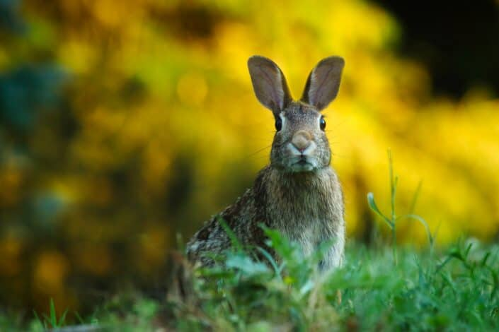 hare attentively looking out for himself