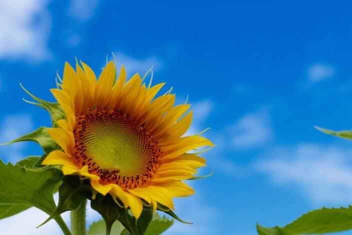 A vibrant sunflower